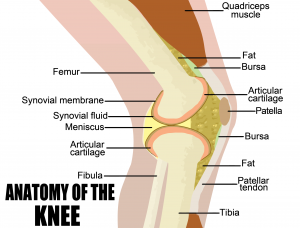Structure of Knee